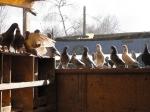 Elevage de pigeons